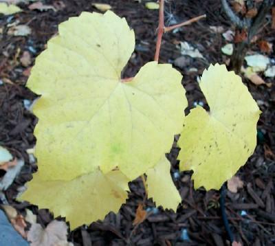 Arizona/Canyon Grape Fall Foliage
