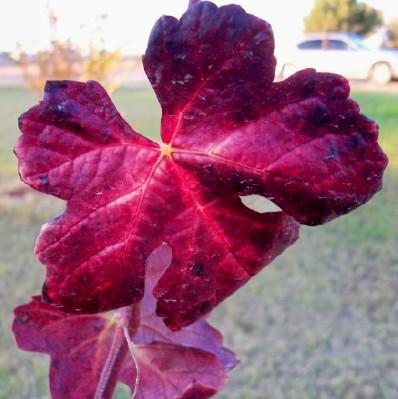 Fall Barbera Grape Foliage
