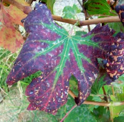 Fall Summer Royal Grape Foliage