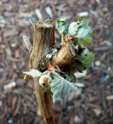 Distressed Tempranillo on Arizona/Canyon Roots