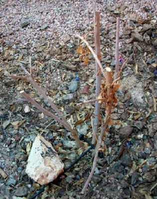 Elderberries in the Desert 2