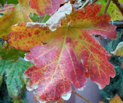 Fall Grape Leaves in Arizona