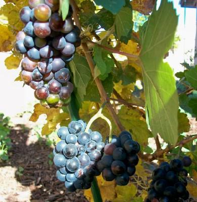 Late Season Petite Sirah Grapes