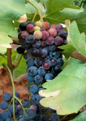 Uneven Ripening in Desert Grown Grapes
